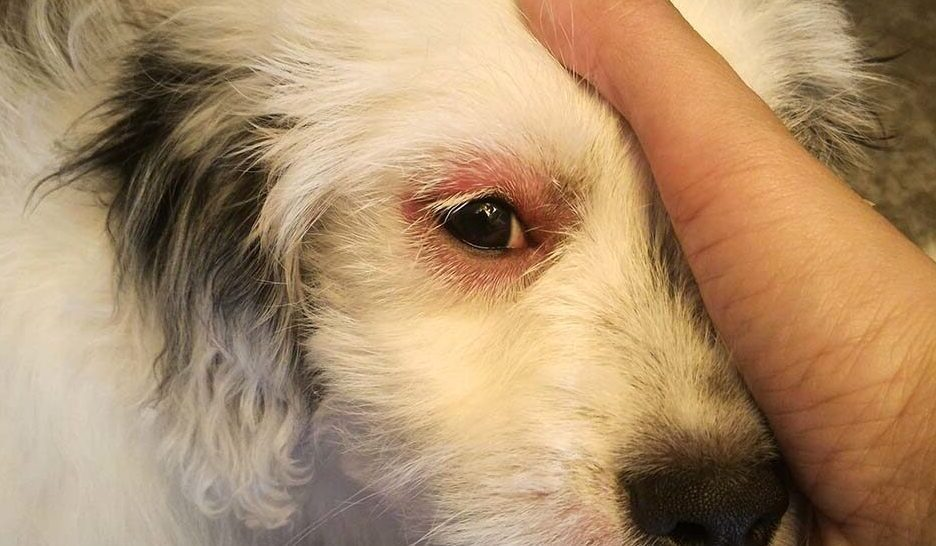 dogs eyes red