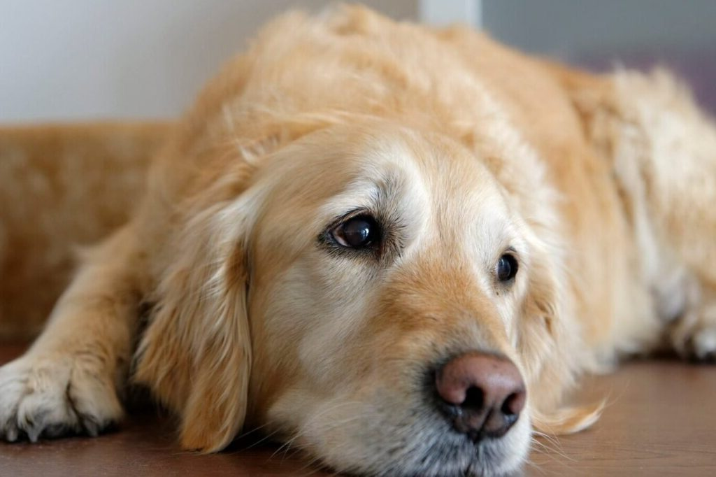 Cefpodoxime for dogs