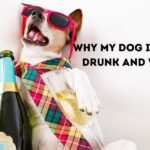 6 Reasons Why My Dog is Acting Drunk and Wobbly?