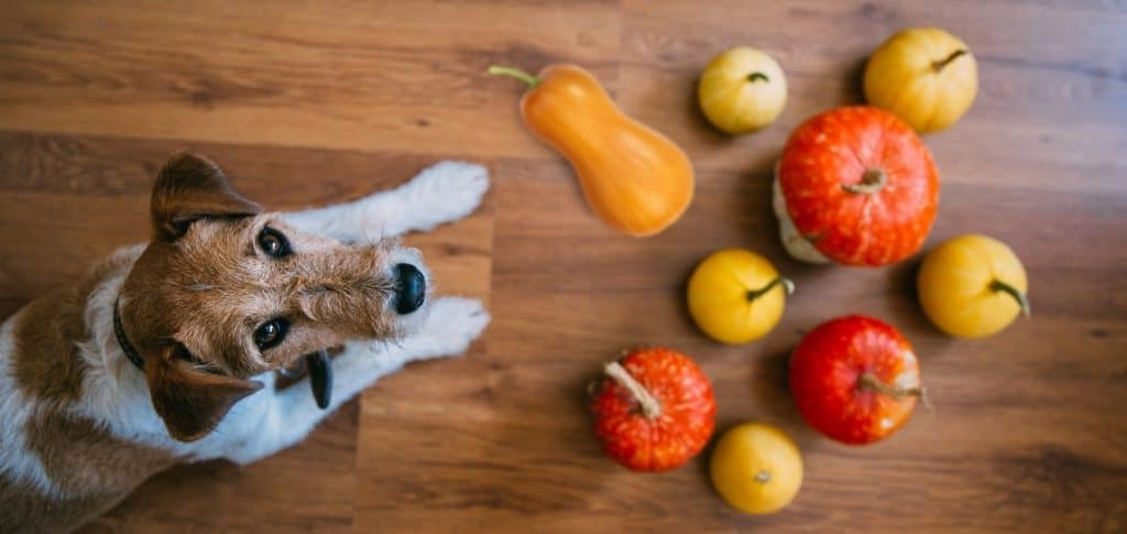 can dogs have butternut squash