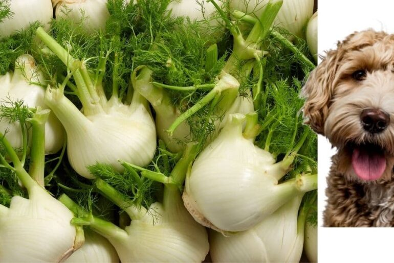 fennel dogs