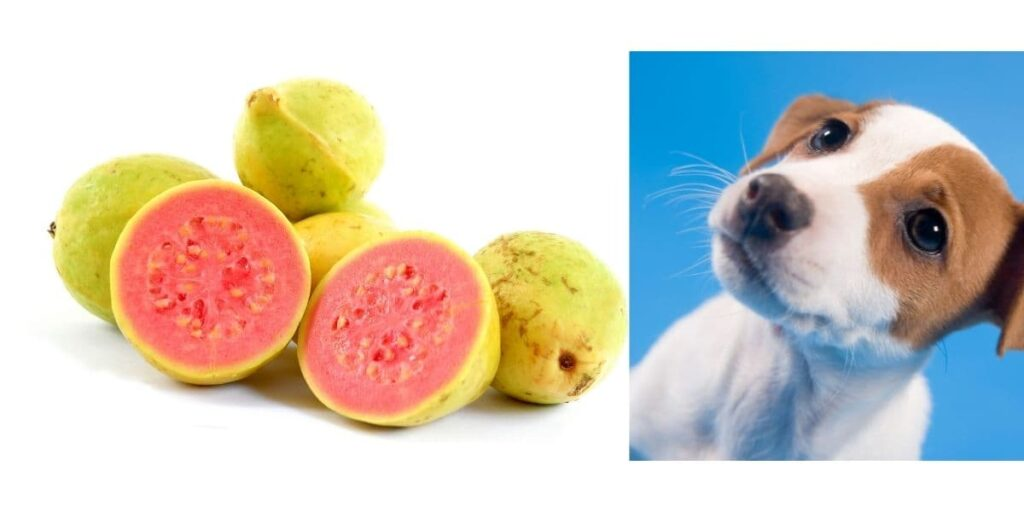 can dogs eat guava