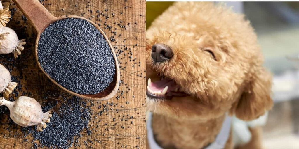 can dogs eat poppy seeds