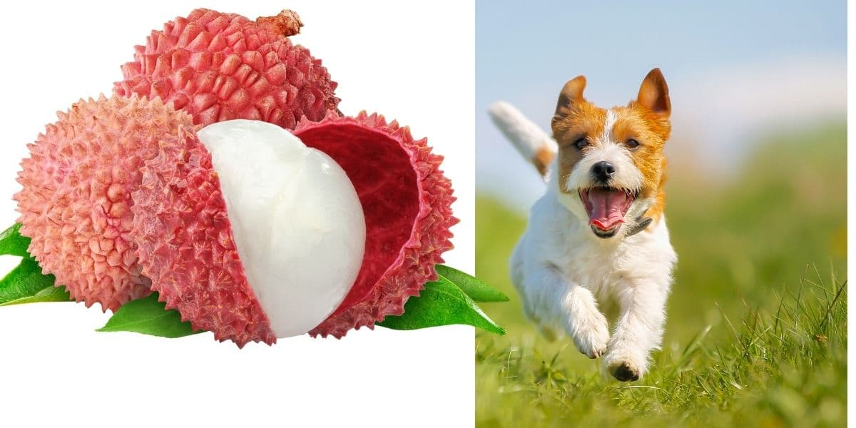 can dogs eat lychee