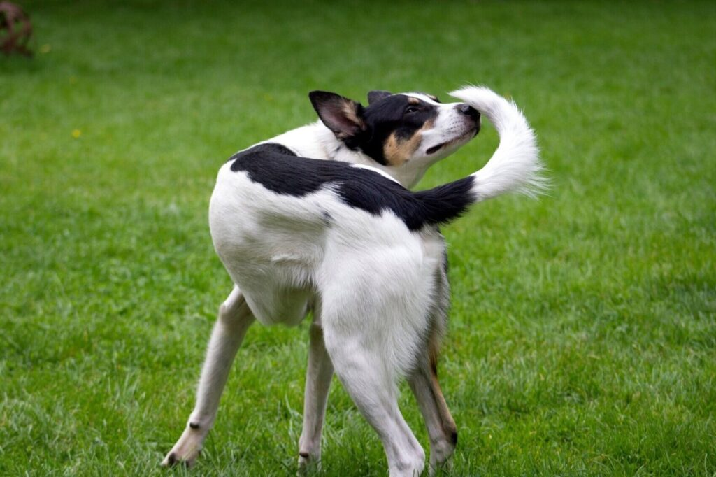 dog holding tail to one side