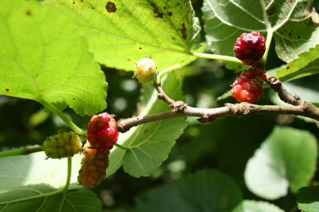 can dogs eat mulberries