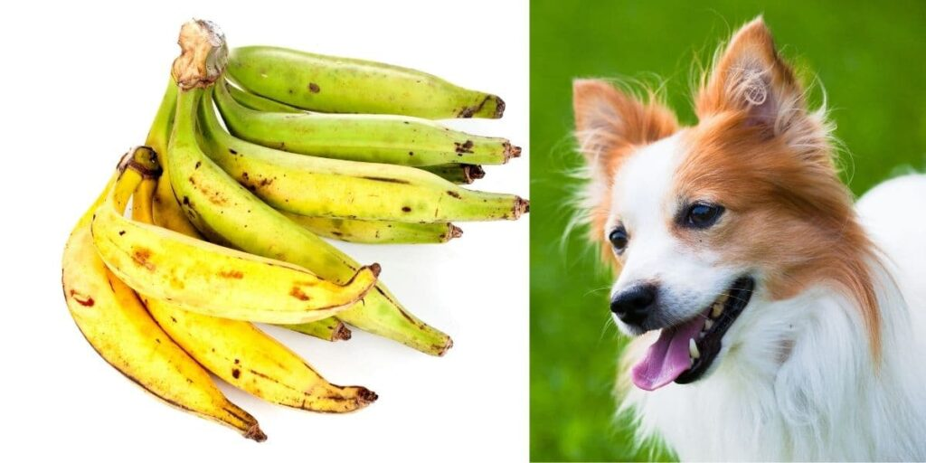 can dogs eat plantains