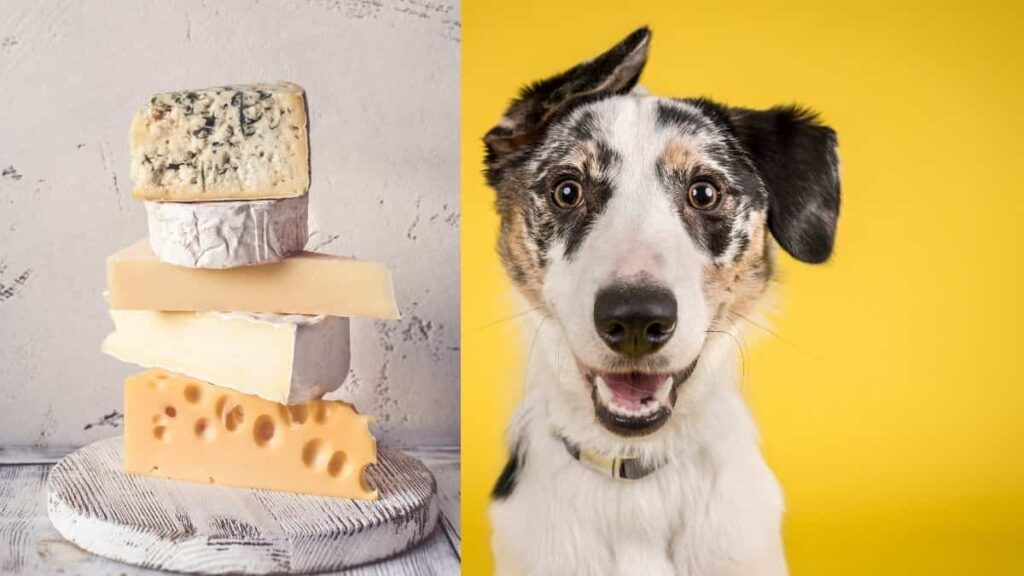 can dogs have cheese