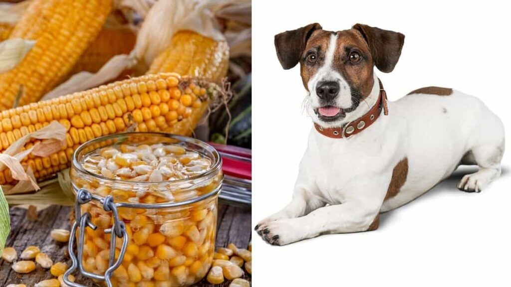 can dogs eat canned corn